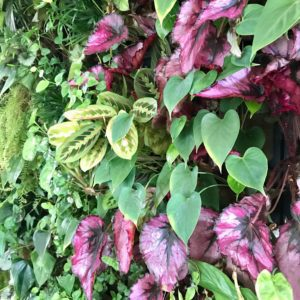 Begoni and Maranta plants growing in a PlantBox indoor living wall