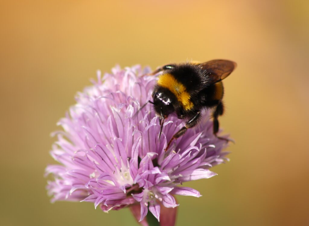 Bumblebee on a chive flower